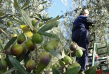 Photo of Olive Harvest Season: Between Fear and Hope