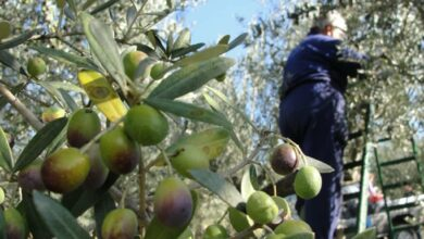 Photo of Illegal Settlers uproot 100+ Palestinian-owned olive saplings